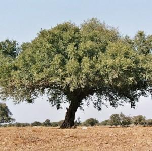 argan-olie-træ